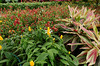 Red-striped variegated ginger, yellow and red shrimp plants