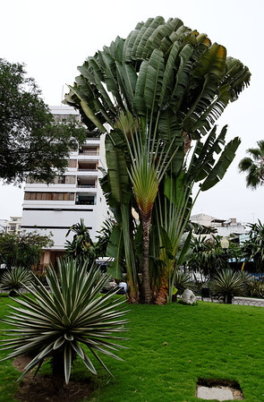 Now that's a Travelers' Palm