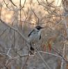 A mockingbird singing away