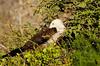 Juvenile frigatebird, North Seymour Island Galápagos