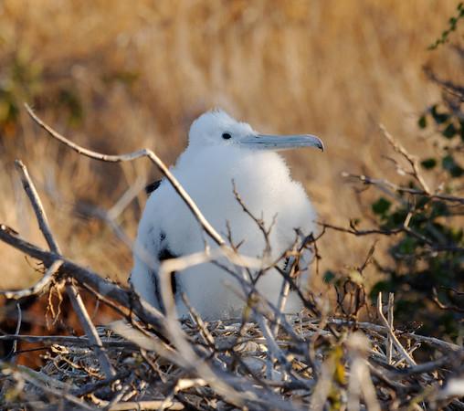 A really young great frigatebird chick, North Seymour Island Galápagos