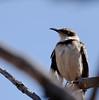 Galápagos Mockingbird (Mimus parvulus), Isla Rábida Galápagos
