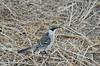 Mockingbird - very tame