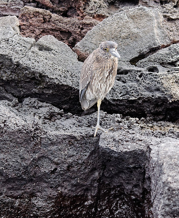 Striated heron (Butorides striata), Isla Bartolomé