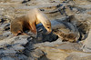 Isla Santiago, mother and young Galápagos fur seals (Arctocephalus galapagoensis) - trying to help it across the hole