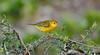Isla Santiago, yellow warbler (Dendroica petechia)