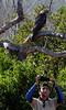 Juvenile Galápagos Hawk (Buteo galapagoensis) watches us unafraid as Hernán takes photos