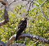 Juvenile Galápagos Hawk