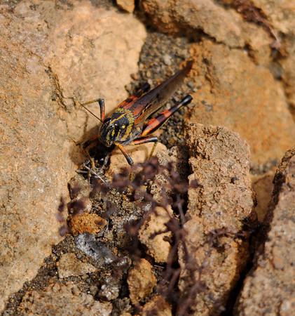 Banded locust, Isla Bartolomé
