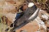 Juvenile Great Frigatebird (Fregata minor), North Seymour Island Galápagos
