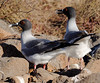Changing positions, nesting pair of Swallow-tailed Gulls (Creagrus furcatus), North Seymour Island Galápagos