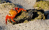 Welcoming committee (Sally Lightfoot Crab, Grapsus grapsus)