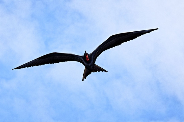 Male frigate bird (Fregata minor), Isla Bartolomé