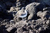 Juvenile Swallow-tailed Gull (Creagrus furcatus), North Seymour Island Galápagos