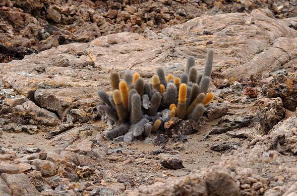 Unique cactus, Isla Bartolomé