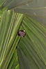Bat that eventually kill the palm tree by bending the fronds over to form a roosting place