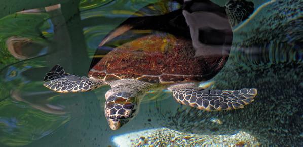 Hawksbill turtle, Smithsonian