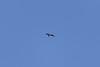 High flying frigate bird