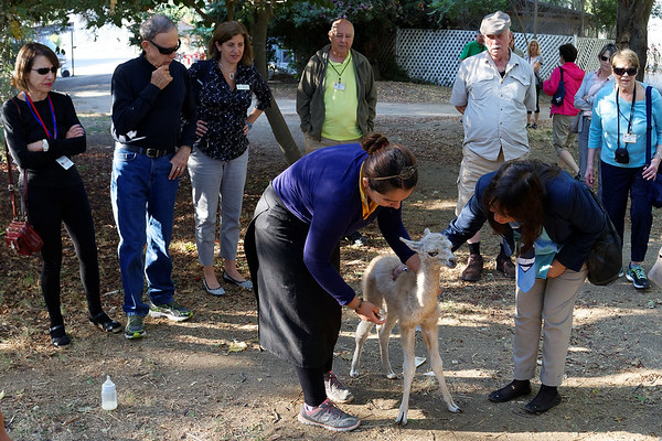 Blind young llama at Dulces Millahue