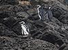 Chiloé Island, Chile - Magellanic penguins