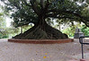 Buenos Aires Argentina - giant fig tree near the hotel