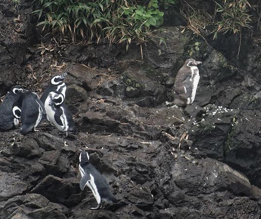 Chiloé Island, Chile - Magellanic penguins and a lone Humbolt penguin