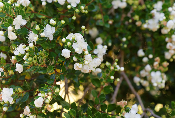 Crossing the Andes:  unidentified flowering tree