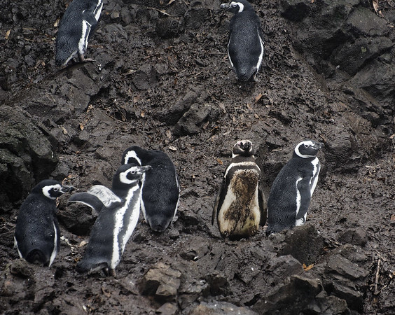 Chiloé Island, Chile - penguins get dirty too