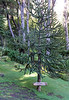 """Mount Companario, Argentina - Pehuén tree (""""Araucaria araucana"""")"""