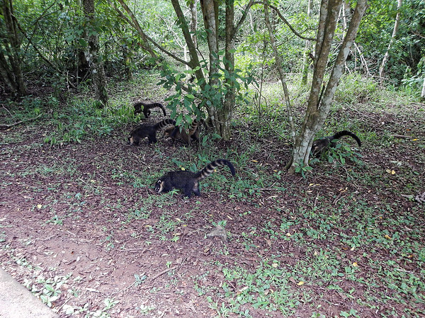 Iguazú Falls - group of coatis foraging