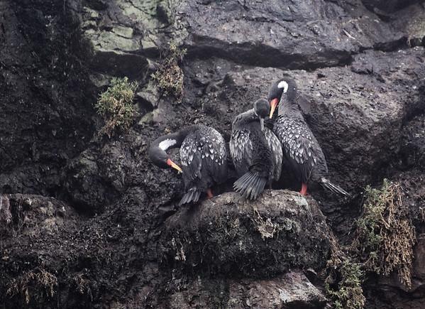 Chiloé Island, Chile - unidentified bird
