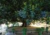 Valpariso, magnificent Magnolia tree