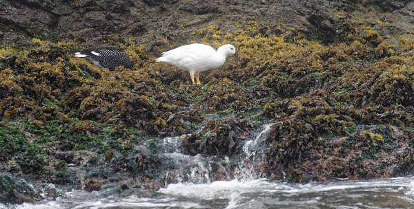 "Chiloé Island, Chile - Kelp geese ""Chloephaga hybrida"""