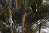 Palmera multiple, Dypsis lutescens