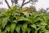 Pseudoranthemum in bloom