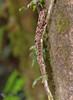 Lizard blending in real well, Villa Blanca cloud forest