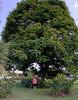 La Fortuna Costa Rica, large tree and Suzanne
