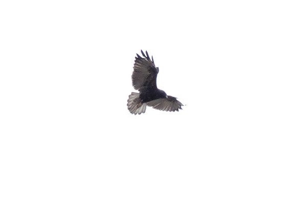 Vulture floating high on the wind