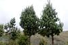Pine trees not native to Ecuador