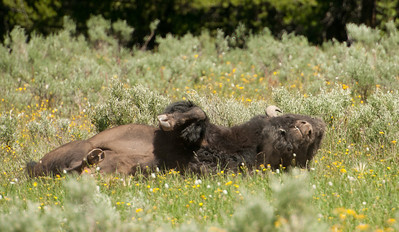 A Buffalo scratching his back in Yellowstone National Park