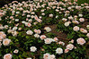 Roses<br /> Villa et Jardins, Ephrussi de Rothschild<br /> St Jean Cap Ferrat<br /> Nikkor 12-24mm f/4G ED-IF AF-S DX