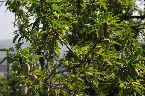 Olive tree<br /> Chateauneuf du Pape, France