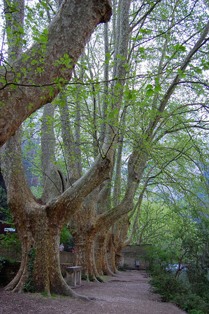 Plane trees along the river <br /> Fontaine de Vaucluse, France