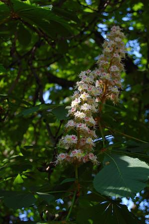 "Bloom, Common Horse-chestnut (""Aesculus hippocastanum"") <br /> Nice, France"