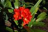 red lily<br /> Villa et Jardins, Ephrussi de Rothschild<br /> St Jean Cap Ferrat<br /> Nikkor 12-24mm f/4G ED-IF AF-S DX
