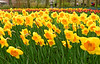 Keukenhof; Daffodils in full bloom