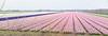 En route to Keukenhof Gardens;  pink hyacinths