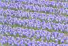 En route to Keukenhof Gardens;  blue hyacinths
