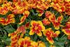 Keukenhof Gardens; Bright Parrot tulips