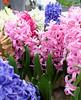 Keukenhof Gardens; Hyacinths